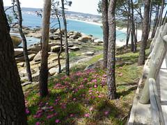 Paseo de Coroso (Los colores del Barbanza) Tags: arbol piino paseo coroso barbanza riveira coruña galicia españa printemps