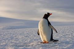 Perplexed Penguin (pdxsafariguy) Tags: gentoo penguin bird snow antarctica island pygoscelispapua mikkelsenharbor trinityisland palmerarchipelago islet bombayisland wildlife nature polar animal tomschwabel