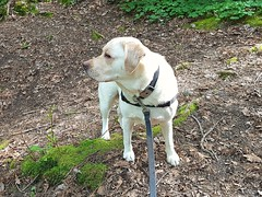Gracie surveying her environment (walneylad) Tags: gracie dog canine pet puppy cute lab labrador labradorretriever may spring morning sun cloud westlynn