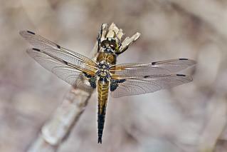 Libellula Quadrimaculata (male ♂)* (0287)