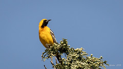 Hooded Oriole (m) (Bob Gunderson) Tags: birds california dolorespark hoodedoriole icterids icteruscucullatus northerncalifornia orioles sanfrancisco