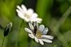 Céraiste des champs (David Bertholle) Tags: céraiste champs fleur blanche flower sciarides nature wildlife sauvage macro light beautiful d7200 sigma nikon