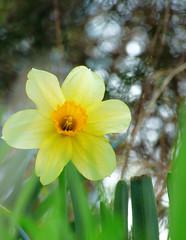 Smile on Saturday - bokeh (mrsparr) Tags: smileonsaturday catchthebokeh bokeh flower dof shallowdof yellow humberbayparkeast toronto ontario canada macro theflickrlounge weeklytheme