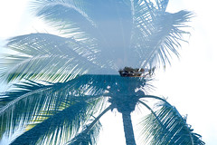 Darwin Double Exposure (Stuart Templeton) Tags: travel australia canon double exposure beach tree palm ocean