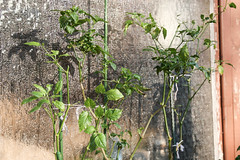 Überwinterte Chilis 'Jalapeno Concho' & Glockenchili (blumenbiene) Tags: chilipflanze chilipflanzen chili chilli chillie chilie plant plants pflanze pflanzen garten garden pepper peppers outdoor überwinterung overwinter hibernate überwintern