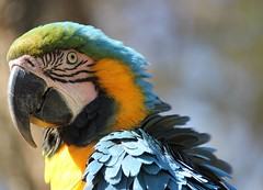 What do you mean?  ( Macaw Parrot ) (Pixi2011) Tags: parrot macaw birds