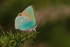 Callophrys rubi (5) (JoseDelgar) Tags: insecto mariposa callophrysrubi 425867998729180 josedelgar naturethroughthelens alittlebeauty coth fantasticnature coth5 ngc npc