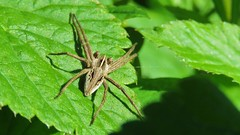 Nursery-wed Spiders, 01052018, 13 (alanblunden) Tags: riverwitham alongtheriver wildlife grantham wild queenelizabethparkhermajestyqueenelizabeththequeenmother spring insect wildinsect park river spider araneae spring2018 uk nurserywedspiders may may2018