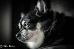 ViLula Jean (Explore May 9 2018) (NYKat33) Tags: windowlight naturallight lazy summer indoors nikon d3100 old school lula furbaby black white portrait