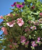 Petunias and Things (Scott 97006) Tags: flowers plant hanging pot petunia floral