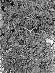 My Acer  Monochrome (brianarchie65) Tags: acers garden mygarden monochrome blackandwhite blackandwhitephotos blackandwhitephoto blackandwhitephotography flickrunofficial flickruk flickr flickrcentral flowers leaves trees unlimitedphotos ngc iphonese geotagged brianarchie65