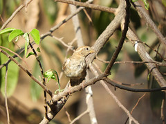 Who's there? (Birdwatcher18) Tags: sparrow bird tree forest nature birdwatching birder birding