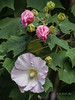 """Aussie PInk"" Hibiscus + buds (idunbarreid) Tags: hibiscus"