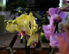 Le coin des orchidées chez le pépiniériste (bd168) Tags: pépinières orchids orchidées colours couleurs bokeh printemps spring display présentoir xt10 xf50mmf2rwr