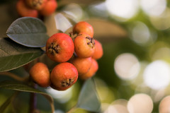 Catch the bokeh (Letua) Tags: smileonsaturday bokeh catchthebokeh closeup dof fruit fruta green naranja naturaleza nature orange verde