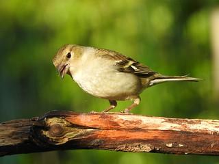 Chaffinch ♀ (Fringilla coelebs)