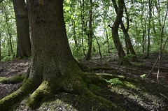 Roots. (Snipsnapper. Back after a long absence, long story) Tags: roots tree trees nature woodland