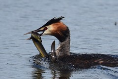 Great Crested Grebe (and eel) (ChrisPy63) Tags: slipperywhenwet eat spring silverdale lancashire rspbreserves rspbleightonmoss nikond7200 nikon nature outside eel fish lake water greatcrestedgrebe grebe bird