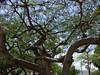 Artistic Jacaranda Tree Branches, Parque de Santa Lucia, Mérida, Yucatán, Mexico (HDR) (dannymfoster) Tags: mexico merida tree jacaranda jacarandatree branch