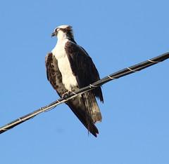 IMG_7961 (Usagi93190) Tags: osprey fort desoto birds prey sea hawk st petersburg florida gulf mexico nature outdoors park wildlife