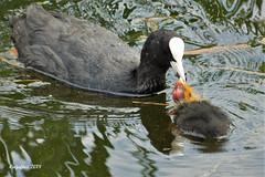 Mothercare. (Cajaflez) Tags: waterbird watervogel vogel bird oiseau meerkoet koetje coot cootling feeding voeren ngc coth5