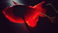 Amapolas / Poppies (Marina Is) Tags: lowkey macromondays hmm poppies amapolas clavebaja macrofotografia