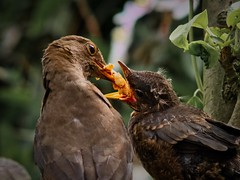 dinner for two (Mallybee) Tags: chick blackbird adaptall 300mmf56 tamron mallybee lumix panasonic dcg9 g9