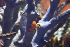 Clownfish (Adventurer Dustin Holmes) Tags: 2018 wondersofwildlife nemo clownfish fish tropical saltwater corral aquarium amphiprioninae anemonefishanimalia chordata actinopterygii perciformes pomacentridae