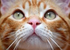 Spritz (En memoria de Zarpazos, mi valiente y mimoso tigre) Tags: gingercat cat gato gatto kitten kitty micio katze chat neko ginger orangetabbymiciorossospritz spritzeddu gatito chatonroux