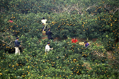 China (FAO Forestry) Tags: jintangcountyyunnanprovince china agriculture asiaandthepacific citrus farmers farms fruits harvesting oranges picking ruralenvironment