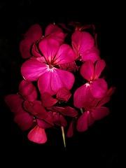 Second Attempt (Benjamin Flrs) Tags: flor flower naturaleza natural natura pink purple day macrophotography macro samsungs8 samsung