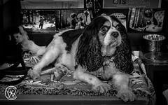Charlie.jpg (christophersears94) Tags: toronto urban roncesvalles ronceydog dog ontario canine olympusem12 ronnyvillage olympus1240f28pro canada ca
