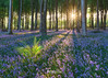Standing Out From The Crowd (http://www.richardfoxphotography.com) Tags: plympton plymbridge bluebells bluebell devon plants flowers flora forest wood woodland beechtrees beechwoodland sunset sunstar fern outdoors