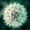 Mystic Dandelion 2 (yarns101) Tags: wild outdoors detail texture vibrant bright colour dandelion weed flower closeup macro