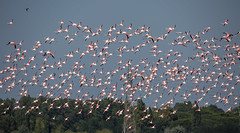 (nadiaorioliphoto) Tags: flying birds uccelli fenicotteri flamingos aves