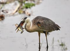 05-19-18-0018747 (Lake Worth) Tags: animal animals bird birds birdwatcher everglades southflorida feathers florida nature outdoor outdoors waterbirds wetlands wildlife wings