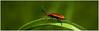 Cardinal Beetle. (vegetus aer) Tags: woodwaltonfen greatfen greatfenproject wildlifetrust bcnwildlifetrust nnr cambridgeshire cardinal beetle cardinalbeetlesony a77m2 sigma 105mm macro
