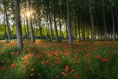 Sole e papaveri (Soloross) Tags: papaveri tramonto bosco bellezza natura primavera spring poppies forest sun sunset nature beauty italy flowers red