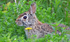 Bunny hiding behind a dandelion (ctberney) Tags: bunny rabbit dandelion bushes weeds hiding nature