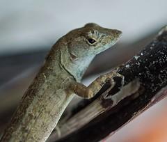 Little Brown Anole (ACEZandEIGHTZ) Tags: nikon d3200 lizard reptile macro closeup twig branch brown anole anolis sagrei