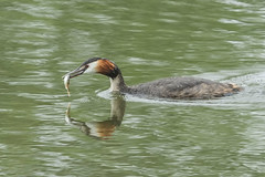 GREAT CRESTED GREBE (_jypictures) Tags: animalphotography animals animal canon canon7d canonphotography wildlife wildlifephotography wiltshire nature naturephotography photography pictures birdphotography bird birds birdwatching birding birdingphotography birders greatcrestedgrebe grebe fish fishing ukwildlife ukbirding ukbirds