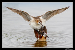 Wilson's Phalarope-2 (billthomas_steel) Tags: wilsonsphalarope bird mating phalarope wildlife water wader britishcolumbia canada canon eos7dmarkii phalaropustricolor