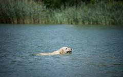 Odie (Katarina Drezga) Tags: dogs dogphotography petphotography pets labrador water lake nikond750 tamron70200vcg2