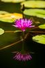 Her Body is So Close to You (Thomas Hawk) Tags: fairmont fairmontkealani fairmontkealaniresort hawaii hotel kealani maui wailea flower waterlily fav10 fav25