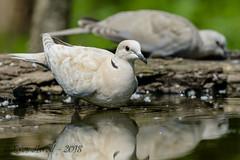 x3D40_3701 (Eyas Awad) Tags: tortoradalcollare streptopeliadecaocto bird birds birdwatching wildlife nature eyasawad nikond4 nikond500 sigma500f45 nikonafs300mmf4