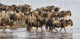 Wildebeest Crossing ...