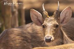 Anna Zoological Park, India (rvk82) Tags: 2018 animals annazoologicalpark chennai deer india march march2018 nikkor200500mm nikon nikond850 rvk rvkphotography raghukumar raghukumarphotography southindia tamilnadu vandalur vandalurzoo wildlife rvkonlinecom rvkphotographycom peerakankaranai in