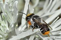 Native bee (jeans_Photos) Tags: nativebee megachile bee garden swanview westernaustralia hymenoptera