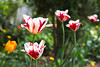 Red and White Tulips (I-Like-My-Fotos-RAW) Tags: red white tulips garden a with lot colorful flowers rot whit weis orange green grün bokeh farben garten pflanzen plants canoneos200d eos200d canon f4p 45mm 1250 april 2018 macro macromondays springtime nature natur flower blume blumen light licht park yellow gelb new makro naturephotography pretty plant germany deutschland