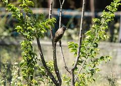 _DSC4903 (AngelPixCn) Tags: angepixcn birds farm feathers green hennopsriver nikond7100 pet southafrica tree wildlife wings centurion gauteng za